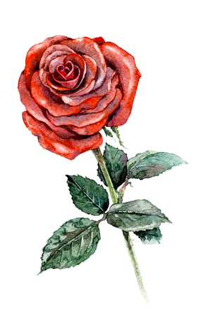 Watercolor painting. Hand drawn illustration rose branch. Big flower with red petals and green leaves isolated on white.  Stock Photo