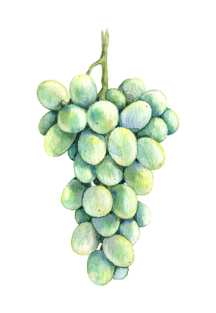 Watercolor Painting.  Hand drawn ripe light  green  grapes isolated on white. Grape bunch sketch. 版權商用圖片