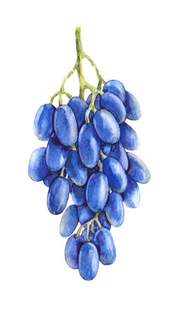 Watercolor Painting.  Hand drawn ripe blue grapes isolated on white. Grape bunch with oblong berries sketch. 스톡 콘텐츠
