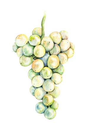 Watercolor Painting.  Hand drawn ripe light  grapes isolated on white. Grape bunch sketch.