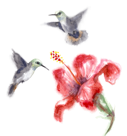 Watercolor painting.  Hand drawn humming birds and flower isolated on white. Small hummingbirds flying near red hibiscus.  Aquarelle sketch in wet technique.
