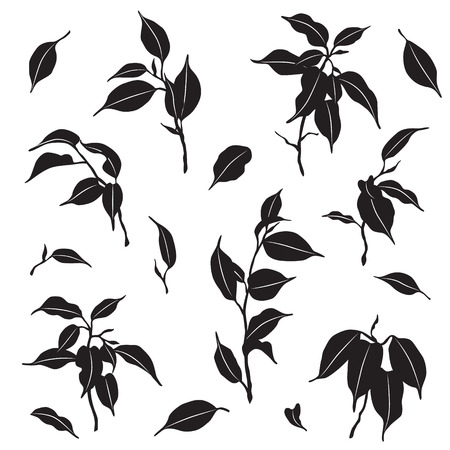 Tropical plant parts set. Silhouette of ficus Benjamina branches and leaves isolated on white.
