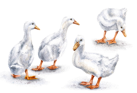 Hand drawn group of white domestic ducks. Poltry watercolor sketch. 스톡 콘텐츠