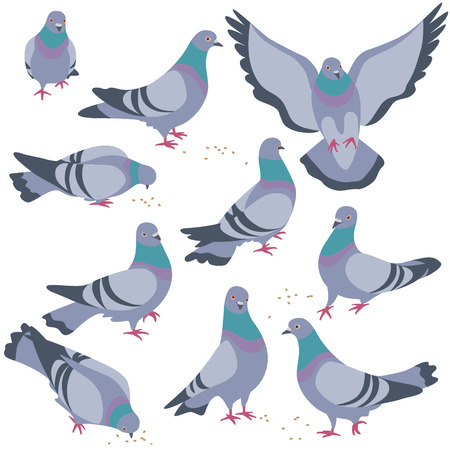 Set of rock doves isolated on white background. Bluish pigeons in moiton - walking, eating, flying. Simplified image of gray birds group. Vector flat illustration.