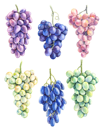 Watercolor Painting.  Hand drawn ripe grapes set.  Grape bunches  of blue, pink, green, yellow color isolated on white background. Stock Photo