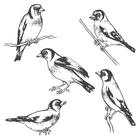 Hand drawn goldfinches isolated on white. Monochrome set of forest birds.Vector sketch of songbirds sitting on branches.
