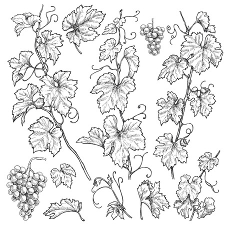 Monochrome separate elements of grapes branches set. Hand drawn grape bunches and leaves isolated on white background. Vector sketch.