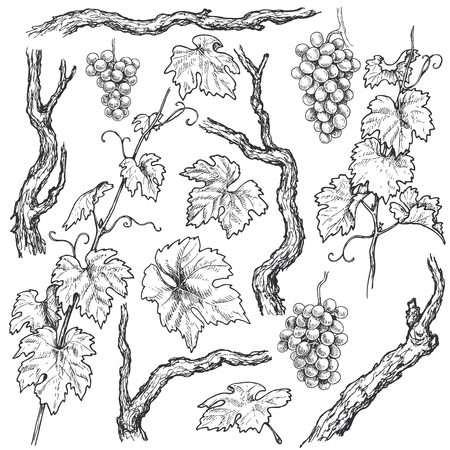 Monochrome separate elements of grapes branches and vine set. Hand drawn grape bunches, trunks and leaves isolated on white background. Vector sketch.