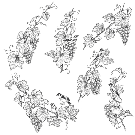 Hand drawn goldfinches sitting on grape branches with berries. Monochrome set of birds and grapes.Vector sketch. Фото со стока - 110153934