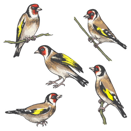 Hand drawn goldfinches isolated on white. Set of colorful singing birds.Vector sketch of songbirds sitting on branches.
