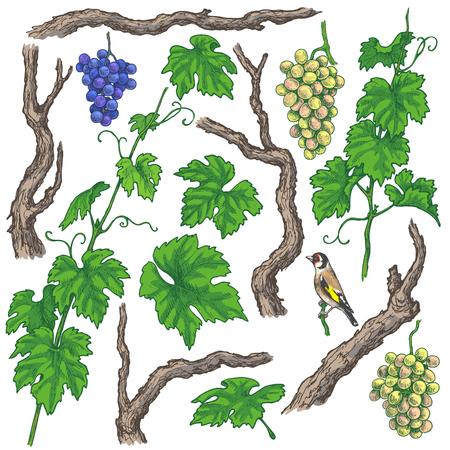 Éléments séparés colorés de branches de raisin et de vigne. Grappes de raisin dessinés à la main, troncs, feuilles et oiseaux isolés sur fond blanc. Croquis de vecteur. Vecteurs