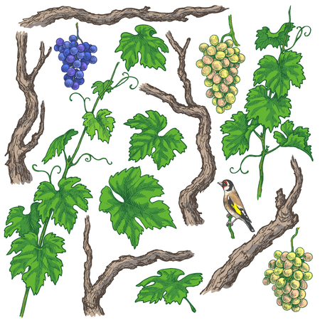 Colored separate elements of grapes branches and vine set. Hand drawn grape bunches, trunks, leaves and bird isolated on white background. Vector sketch.