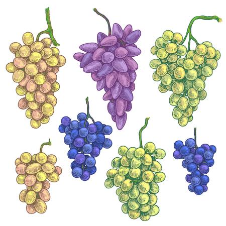 Set di uva colorata. Grappoli d'uva maturi blu, rosa, gialli, verdi disegnati a mano isolati su priorità bassa bianca. Schizzo vettoriale sfondo. Schizzo vettoriale.
