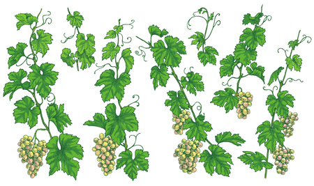 Hand drawn grape branches, bunches  with ripe berries isolated on white background. Green grapes set. Vector sketch.