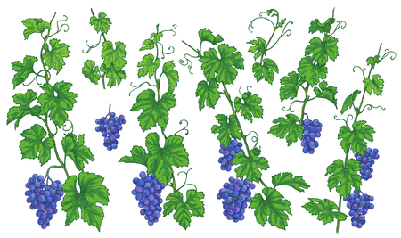 Hand drawn grape branches, bunches with ripe berries and leaves isolated on white background. Blue grapes set. Vector sketch.