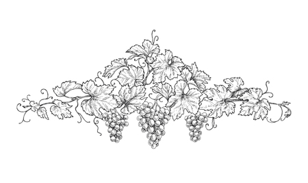 Hand drawn text divider made with monochrome grape branches with leaves and berries. Black and white floral decorations. Vector sketch.