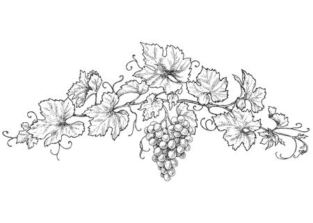 Hand drawn monochrome grape branchs with leaves and berries. Black and white decorations with grapes. Vector sketch. Çizim