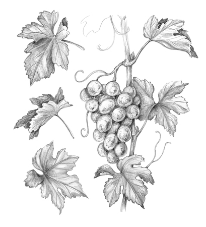 Hand drawn grape bunch and leaves isolated on white background. Monochrome sketch of grapes and separate elements. Pencil drawing.