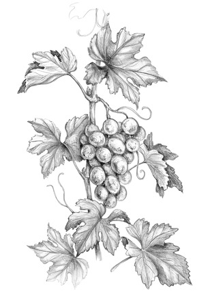 Hand drawn grape branch with bunch and leaves isolated on white background. Monochrome sketch of grapes. Pencil drawing. Imagens