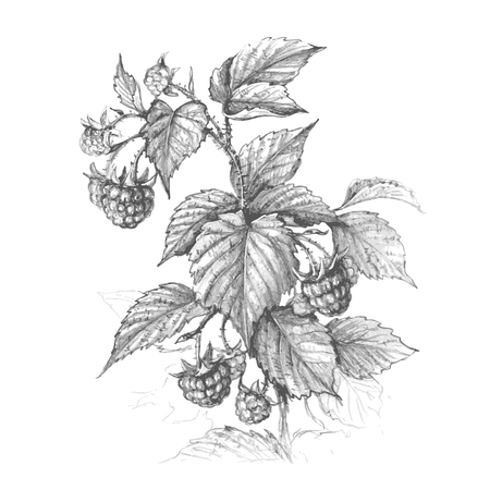 Branche de framboise dessiné main isolé sur fond blanc. Croquis de vecteur monochrome de baies. Dessin au crayon.