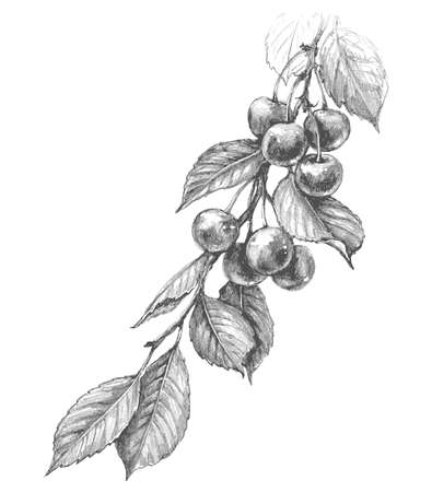 Hand drawn cherry branch with berries and leaves isolated on white background. Monochrome vector sketch of fruit. Pencil drawing. Ilustração