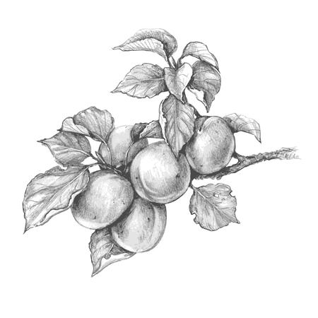 Handgezeichneter Aprikosenzweig isoliert auf weißem Hintergrund. Monochrome Vektorskizze von Früchten. Bleistiftzeichnung.