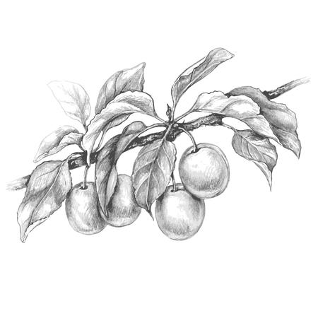 Branche de prune dessinée à la main isolée sur fond blanc. Croquis de vecteur monochrome de fruits. Dessin au crayon. Vecteurs