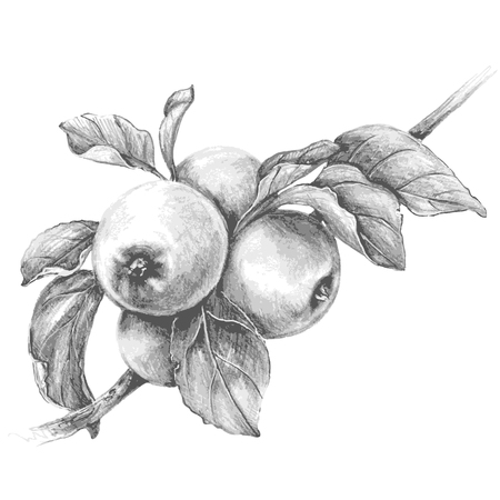 Hand drawn apple  branch isolated on white background. Monochrome vector sketch of fruit. Pencil drawing.