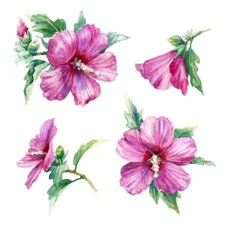 Watercolor painting.  Hand drawn pink syrian hibiscus isolated on white. Tropical flowers aquarelle sketch front and side view. Stock Photo