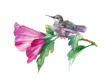 Watercolor painting.  Hand drawn humming bird and pink flower isolated on white. Small hummingbird sitting on hibiscus branch.  Aquarelle sketch. Zdjęcie Seryjne - 115664797