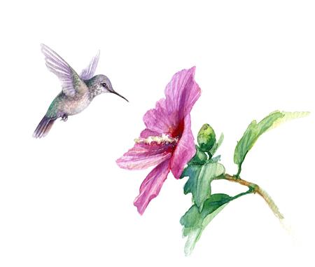 Aquarellmalerei. Handgezeichnete Kolibri und rosa Blume isoliert auf weiss. Kleiner Kolibri, der nahe der syrischen Hibiskusniederlassung fliegt. Aquarellskizze.