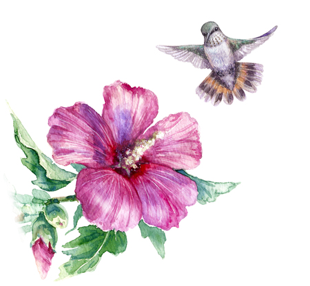Watercolor painting.  Hand drawn flying humming bird and pink flower isolated on white. Small hummingbird soaring above syrian hibiscus bush.  Aquarelle sketch.