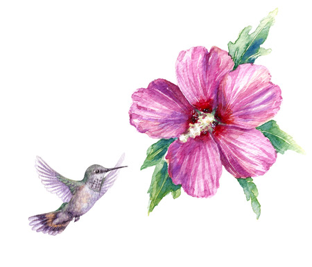 Watercolor painting.  Hand drawn flying humming bird and pink flower isolated on white. Small hummingbird soaring near syrian hibiscus.  Aquarelle sketch.