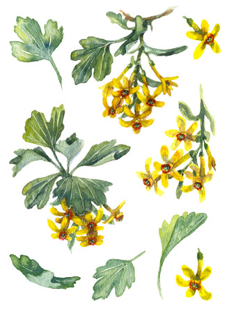 Yellow Flowers and Green Leaves of Ribes Aureum isolated on white background. Golden Currant watercolor elements set.