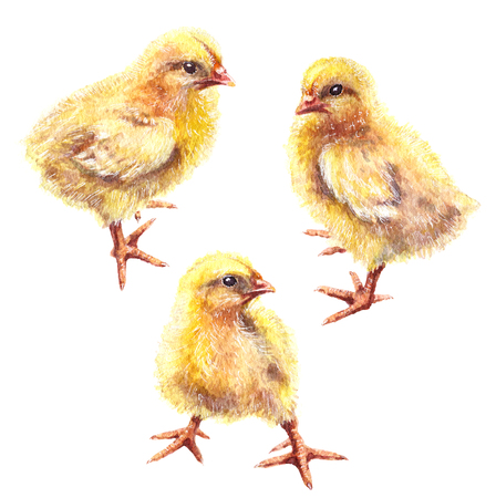 Hand drawn group of yellow chickens isolated on white background. Young poultry watercolor sketch.