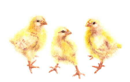 Hand drawn group of yellow chickens isolated on white background. Young poultry watercolor sketch in wet technique. Stock Photo