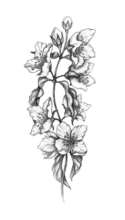 Hand drawn blossoming Jasmine branch isolated on white background. Monochrome pencil drawing sketch of flower.  Romantic tattoo design, floral decoration, illustration in vintage style.