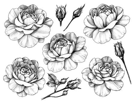 Hand getekende set roze bloemhoofdjes en knoppen geïsoleerd op een witte achtergrond. Potlood tekening monochrome bloemen elementen in vintage stijl. Stockfoto