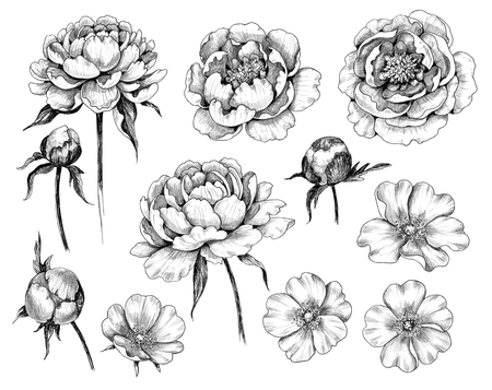 Hand drawn set of dog-rose and peony flower heads and buds isolated on white background. Pencil drawing monochrome floral elements in vintage style. Imagens