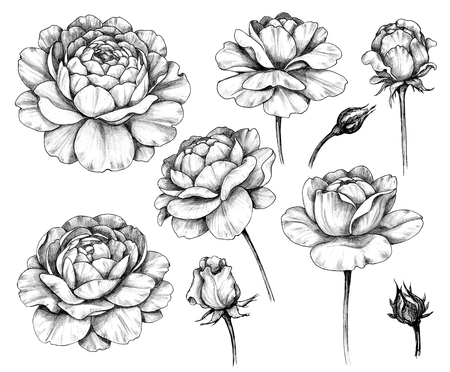 Hand drawn set of rose flower and buds isolated on white background. Pencil drawing monochrome floral elements in vintage style.