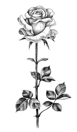 Hand drawn rose bud on high stem with leaves isolated on white background. Pencil drawing monochrome flower in vintage style. Stock Photo