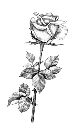 Hand drawn rose bud on stem with leaves isolated on white background. Pencil drawing monochrome flower in vintage style. Banco de Imagens