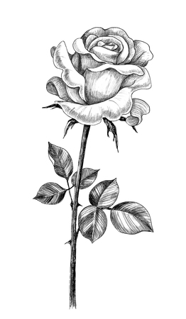 Hand drawn rose flower bud with leaves isolated on white background. Pencil drawing monochrome flower in vintage style. 스톡 콘텐츠