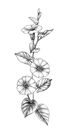 Hand drawn Bindweed flower with leaves isolated on white background. Pencil drawing monochrome elegant floral composition in vintage style.