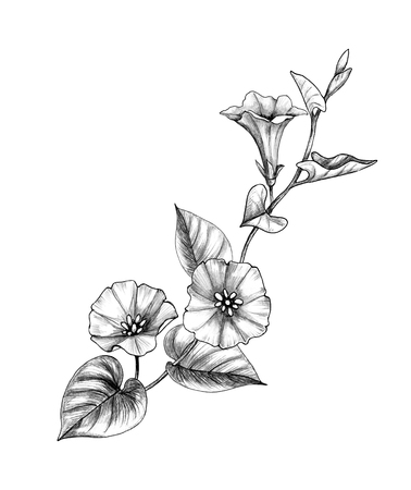 Hand drawn Bindweed branch with flower and leaves isolated on white background. Pencil drawing monochrome elegant floral composition in vintage style.