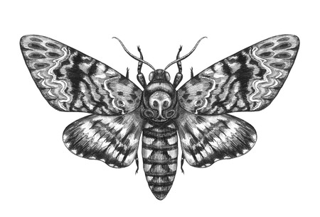 Hand drawn Acherontia Styx butterfly isolated on white background. Pencil drawing monochrome Deaths-Head Hawkmoth top view. Illustrations in vintage style, t-shirt design, tattoo art.  Фото со стока