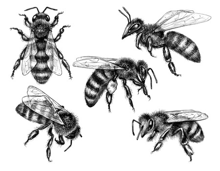 Hand drawn bees isolated on white background. Pencil drawing monochrome sitting and flying honeybees. Insect  set side and top view.