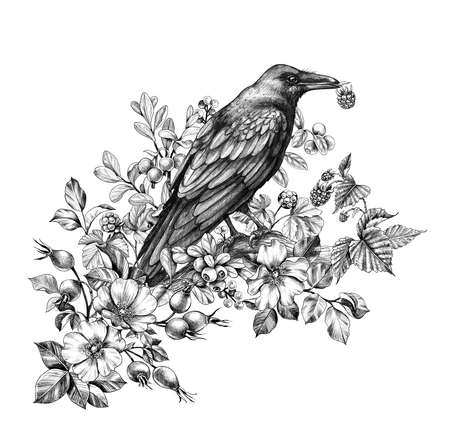 Hand drawn crow and forest berries isolated on white background. Black bird with raspberry in beak sitting on tree branch. Raven with floral bunch side view pencil drawing in vintage style. Фото со стока