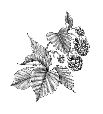 Hand drawn raspberry branch isolated on white background. Monochrome sketch of ripe berries. Pencil drawing.