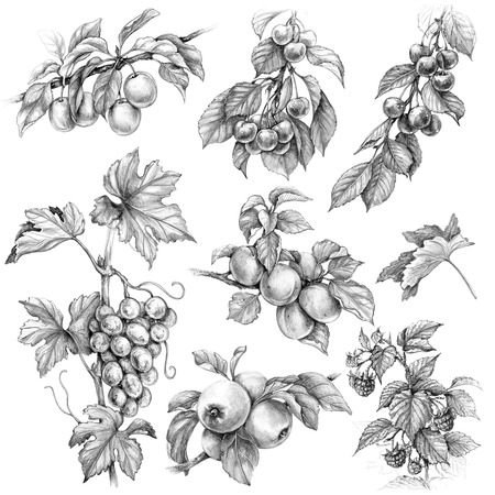 Hand drawn branches of fruit trees and bushes. Monochrome set of fruits and berries. Pencil drawing  apple, apricot, grape, plum, raspberry, cherry, 스톡 콘텐츠
